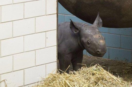 В зоопарке Берлина пополнение в семье чёрных носорогов
