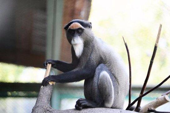 В Пермском зоопарке поселились мартышки Бразза