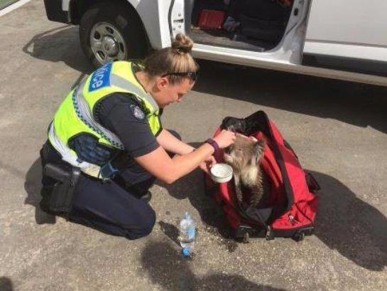 В Австралии спасли коалу от пожара