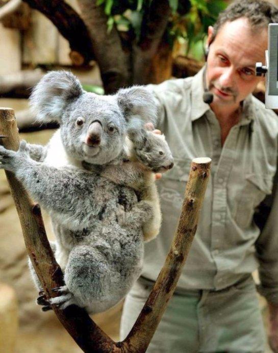 Зоопарк Дуйсбурга показал двух детенышей коалы