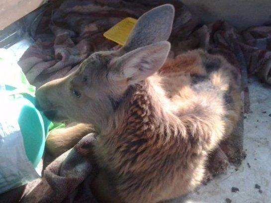 Жители таёжного поселка спасли маленького лося