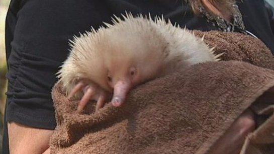 В Австралии спасли ехидну-альбиноса