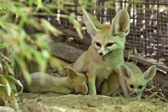 Детеныши фенека родились в израильском зоопарке