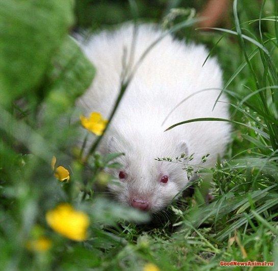 В Шотландии родился скунс-альбинос