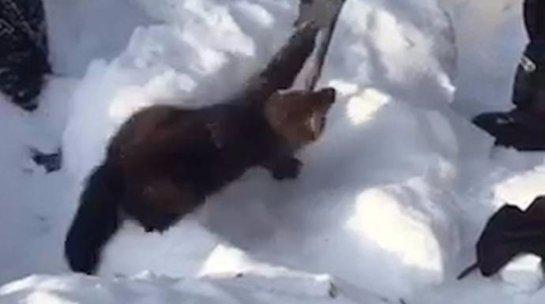 В Хокасии туристы спасли соболя