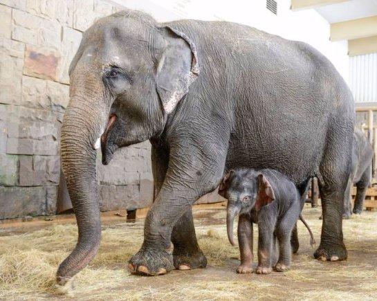 В берлинском зоопарке родился слоненок