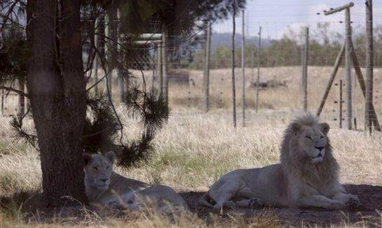Перенёсший стерилизацию лев неожиданно стал отцом