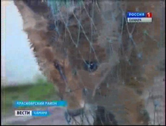 В Самаре дачники спасли лисёнка