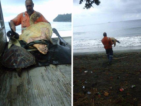 Мужчина спасает морских черепах