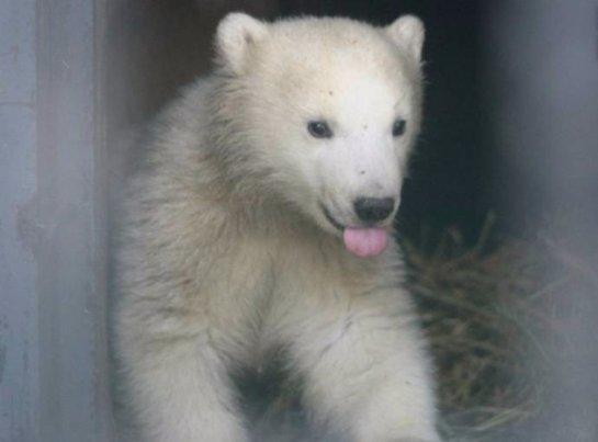 В зоопарке Казани маленький белый мишка впервые вышел к людям