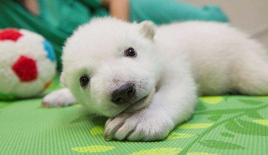В зоопарке Огайо выхаживают маленького белого медвежонка