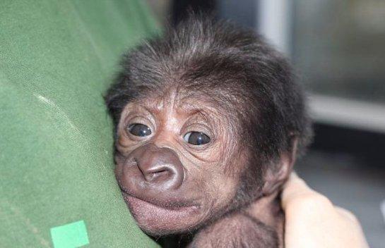 В Бристоле родился детеныш гориллы с помощью кесарева сечения