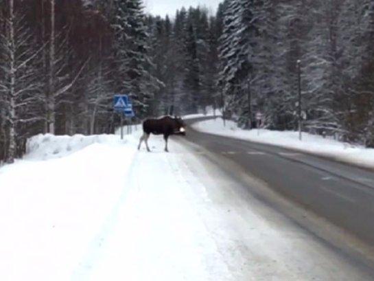 В Карелии лось пересек дорогу по всем правилам