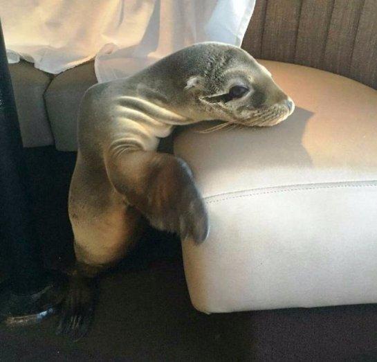 В США лечат детеныша тюленя, который залез в ресторан