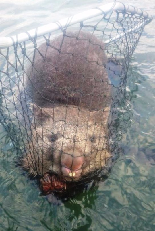 В Австралии рыбаки спасли вомбата
