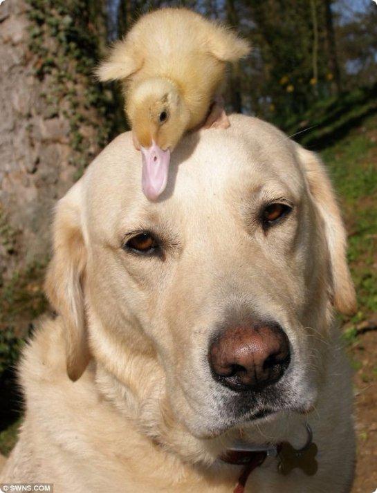 Пёс заботится об утёнке