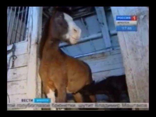 В Иркутске появилась на свет пони с голубыми глазами