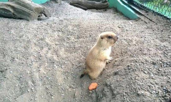 В зоопарке Красноярска родились сурки