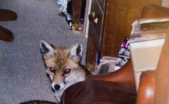 К бабушке, которая панически боится лис, пролез в дом маленький лисенок
