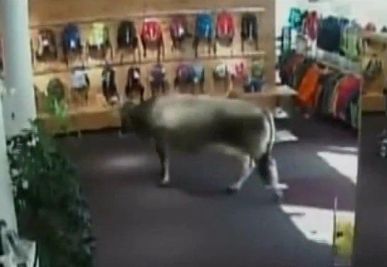 Австралийский магазин посетила корова