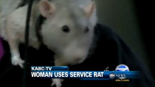 Крыса, которая предупреждает свою хозяйку о будущих спазмах