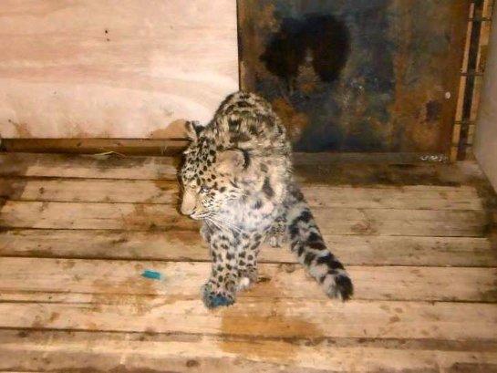 В Приморье спасают молодого леопарда