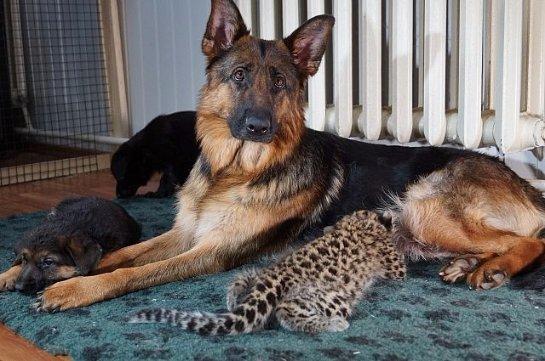 Овчарка выкормила леопарда