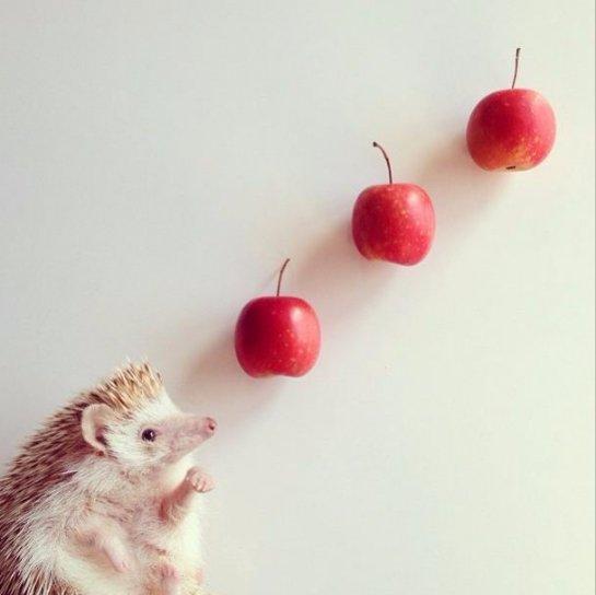Дарси- самый популярный ёж в соцсети Instagram