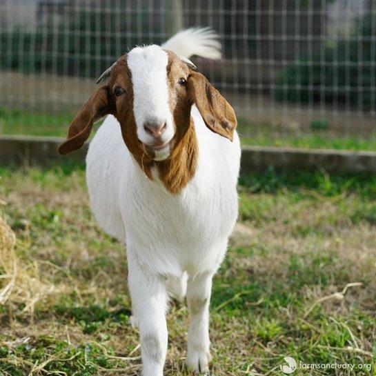 Слепой козе нашли одноглазого козла-поводыря