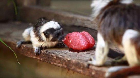 В Австралии обезьянок спасают от жары мороженым