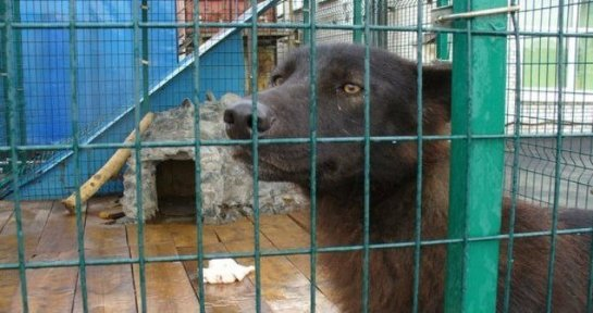 В Санкт-Петербурге спасли волка
