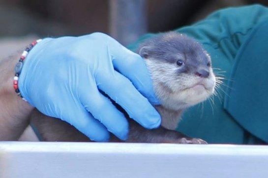 В зоопарке Перта показали детенышей бескоготной выдры
