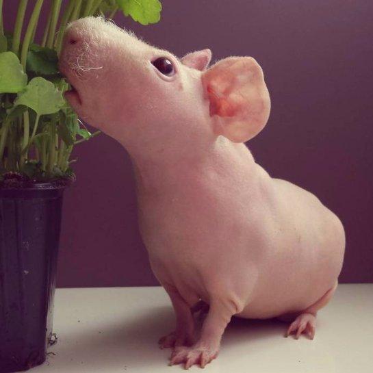 Людвик- лысая морская свинка