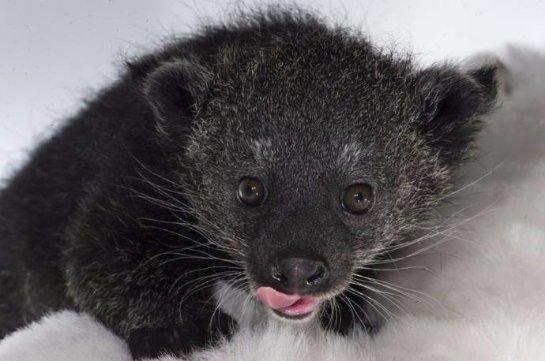 В зоопарке Нью-Йорка появился на свет детеныш бинтуронга