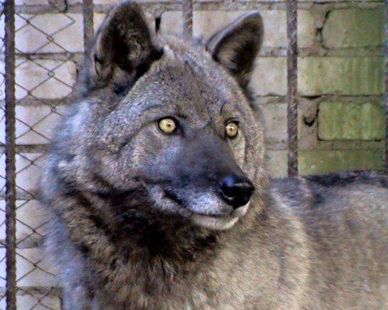 Полицейские Орска взяли на воспитание волчицу