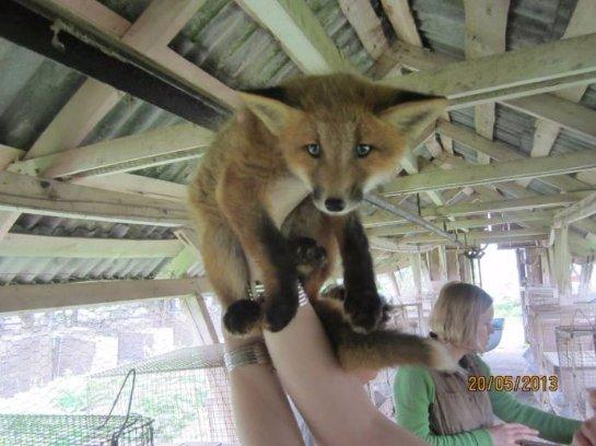 История о славной лисичке Лиле