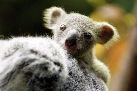 В немецком зоопарке подрастает детеныш коалы