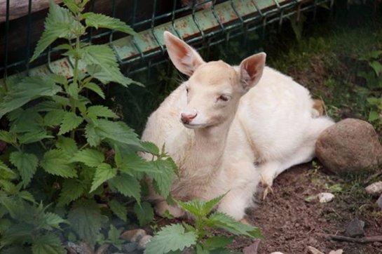 В зоопарке Ярославля появился на свет детеныш-альбинос европейской лани