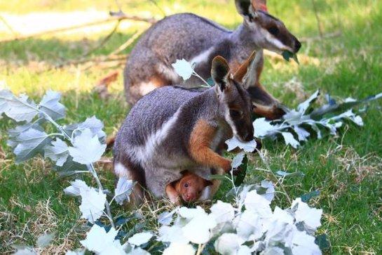 Маленького древесного кенгуренка спасли, подсадив в сумку суррогатной матери