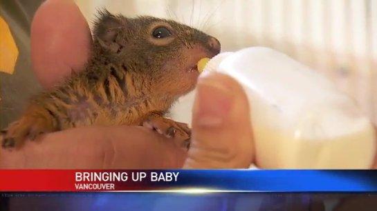 Крыса стала мамой для бельчат