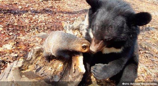 Дружба медведя с барсучихой