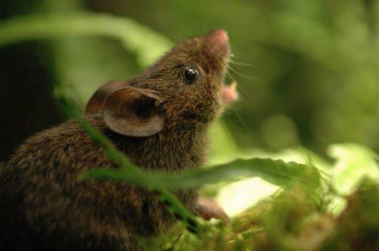 В лесах Панамы завелись поющие мыши