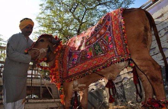 В Индии устроили богатую свадьбу для коров