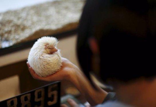 В Японии открылось кафе с ежами