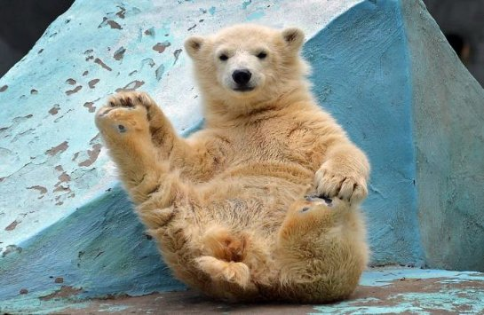 Медвежонок-гимнаст из Новосибирского зоопарка