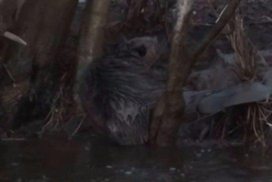 На Урале спасли бобра из проволочной ловушки