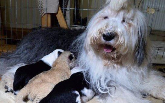 В Польше собака выкармливает львенка