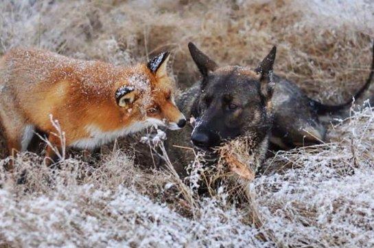 Необычная дружба пса и лисицы