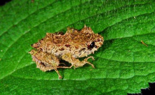 Лягушка из Эквадора умеет менять структуру кожи