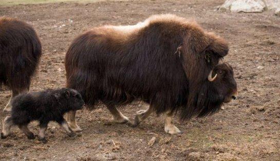 В зоопарке Калгари на свет появился детеныш мускусного быка